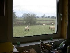 Breakfast view of the neighbours' sheep