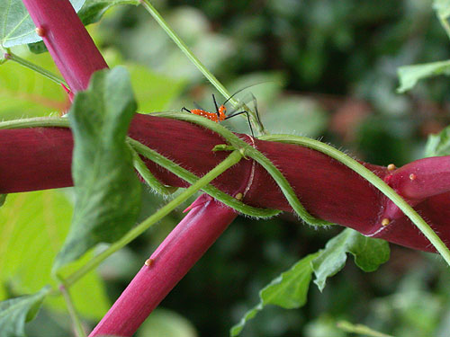 Lil' Urnge Bug on Castor Bean Plant 1