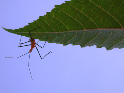 Lil' Urnge Bug on Castor Bean Plant 2