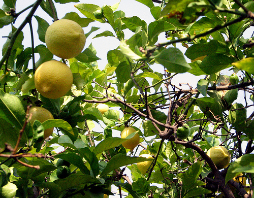 Free lemons from your backyard!